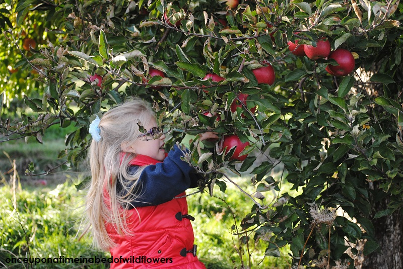 Picking the last of this year's apples.
