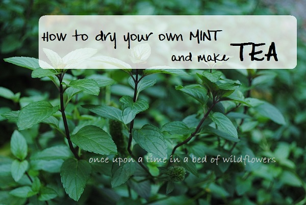 How to dry your own MINT and make TEA (sm)