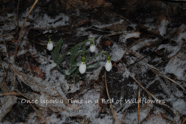 Snow drops in the snow / My Week on Wednesday / Once Upon a Time in a Bed of Wildflowers