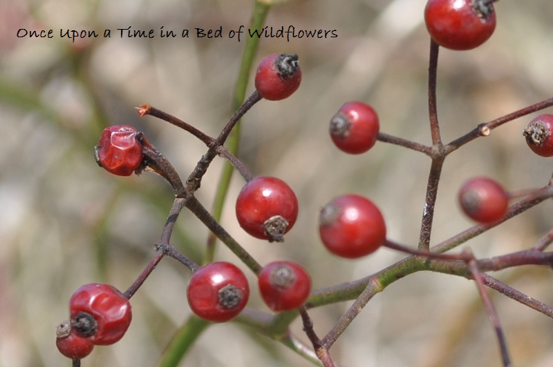 Thousand Words/ Maple Ridge/ Rose hips in March