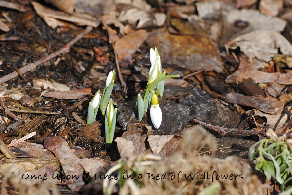 Snow drops in the sun / My Week on Wednesday / Once Upon a Time in a Bed of Wildflowers