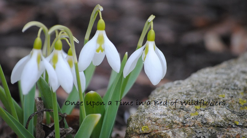 Snowdrops in a Rock Garden // Once Upon a Time in a Bed of Wildflowers