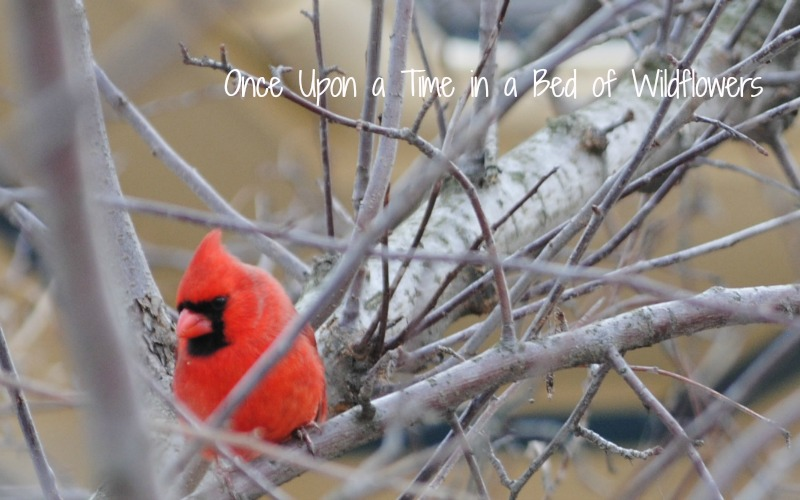 Cardinal in a March Cherry Tree // Thousand Words Thursday // Once Upon a Time in a Bed of Wildflowers