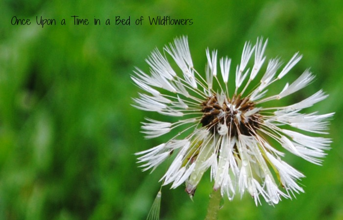 Dandelions in the Rain // Once Upon a Time in a Bed of Wildflowers