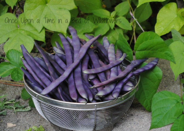 Purple Beans via Once Upon a Time in a Bed of Wildflowers