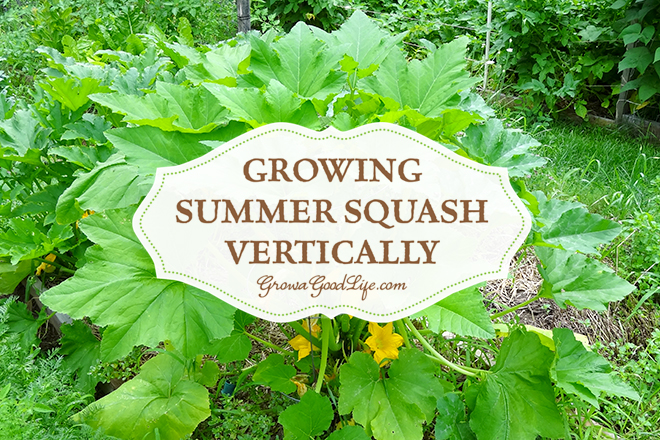 Growing Summer Squash Vertically // From the Farm Blog Hop // photo credit Grow A Good Life