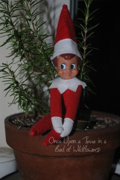 Our Elf on the Shelf hanging out with the rosemary // Once Upon a Time in a Bed of Wildflowers