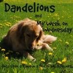 MWOW Dandelions sq