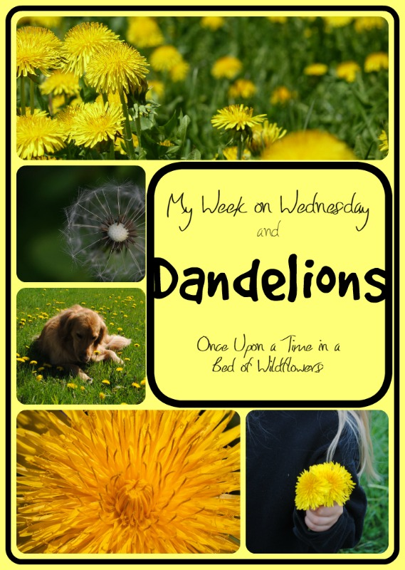 Looking to add a little sunshine to a dreary winter day? Take a few moments to learn about dandelions! // My Week on Wednesday via Once Upon a Time in a Bed of Wildflowers