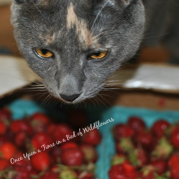 Kitten in the Strawberries