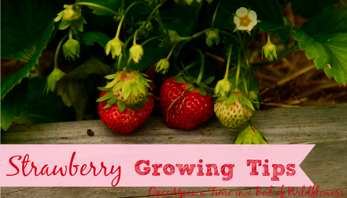 Tips for Growing Strawberries, plus 26 recipes AND preserving ideas from Once Upon a Time in a Bed of Wildflowers