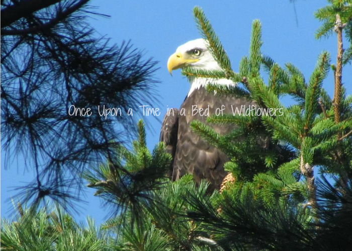 Bald Eagle in Tree. Photo credit to Once Upon a Time in a Bed of Wildflowers's MOM!